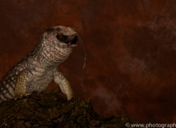 Bosc-Monitor-Lizard-copyright-photographers-on-safari-com-6127