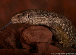 Bosc-Monitor-Lizard-copyright-photographers-on-safari-com-6129