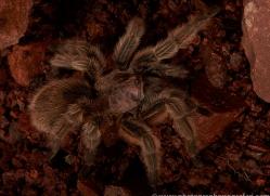 Chilean-Rose-Tarantula-copyright-photographers-on-safari-com-6132