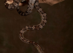 Corn-Snake-copyright-photographers-on-safari-com-6136