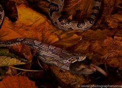 Corn-Snake-copyright-photographers-on-safari-com-6138