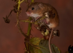 Harvest Mouse-copyright-photographers-on-safari-com-6151