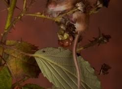 Harvest Mouse-copyright-photographers-on-safari-com-6152