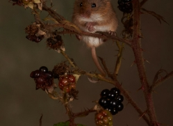 Harvest Mouse-copyright-photographers-on-safari-com-6153