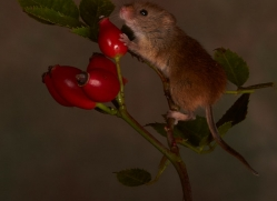 Harvest Mouse-copyright-photographers-on-safari-com-6154
