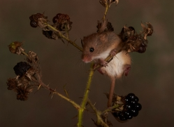 Harvest Mouse-copyright-photographers-on-safari-com-6155