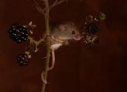Harvest Mouse-copyright-photographers-on-safari-com-6158