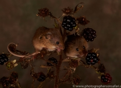 Harvest Mouse-copyright-photographers-on-safari-com-6165