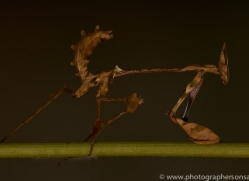 Indian-Rose-Mantis-copyright-photographers-on-safari-com-6167