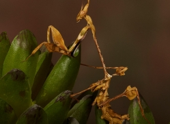 Indian-Rose-Mantis-copyright-photographers-on-safari-com-6168