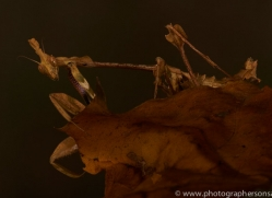 Indian-Rose-Mantis-copyright-photographers-on-safari-com-6170