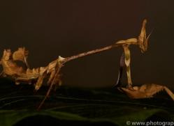 Indian-Rose-Mantis-copyright-photographers-on-safari-com-6171