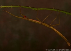 Indian-Stick-Insect-copyright-photographers-on-safari-com-6172