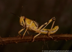 Locust-copyright-photographers-on-safari-com-6173