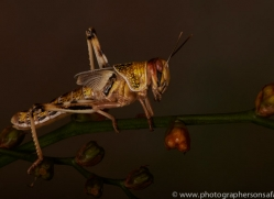 Locust-copyright-photographers-on-safari-com-6175