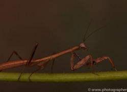 Madagascan-Marbled-Mantis-copyright-photographers-on-safari-com-6177