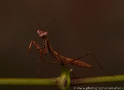 Madagascan-Marbled-Mantis-copyright-photographers-on-safari-com-6180