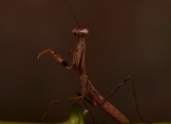 Madagascan-Marbled-Mantis-copyright-photographers-on-safari-com-6181