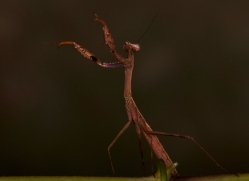 Madagascan-Marbled-Mantis-copyright-photographers-on-safari-com-6183