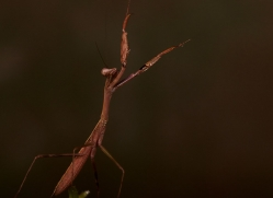 Madagascan-Marbled-Mantis-copyright-photographers-on-safari-com-6184