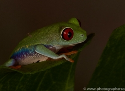 Red-Eyed-Tree-Frog-copyright-photographers-on-safari-com-6187