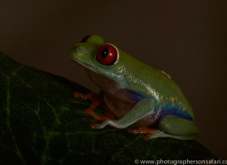 Red-Eyed-Tree-Frog-copyright-photographers-on-safari-com-6188