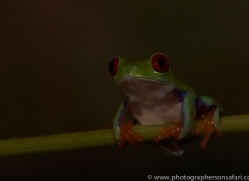 Red-Eyed-Tree-Frog-copyright-photographers-on-safari-com-6193