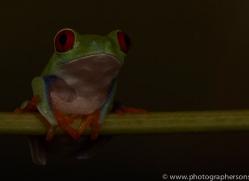 Red-Eyed-Tree-Frog-copyright-photographers-on-safari-com-6195