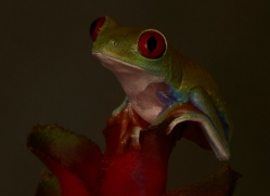 Red-Eyed-Tree-Frog-copyright-photographers-on-safari-com-6198
