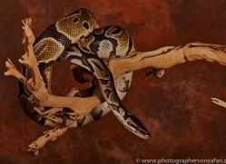 Royal-Python-copyright-photographers-on-safari-com-6201