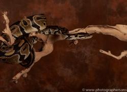 Royal-Python-copyright-photographers-on-safari-com-6202