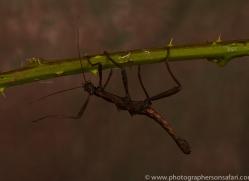 Sabah-Stick-Insect-copyright-photographers-on-safari-com-6204