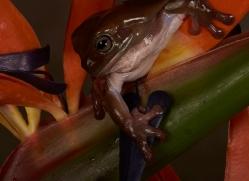 Whites-Tree-Frog-copyright-photographers-on-safari-com-6208
