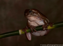 Whites-Tree-Frog-copyright-photographers-on-safari-com-6209