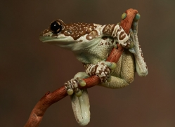 amazon-milk-frog-copyright-photographers-on-safari-com-8123