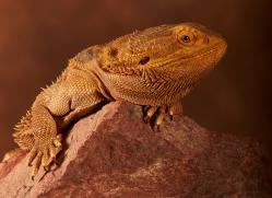bearded-dragon-copyright-photographers-on-safari-com-8574