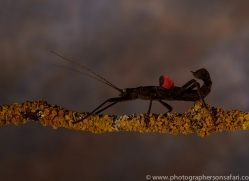 black-beauty-stick-insect-copyright-photographers-on-safari-com-8124