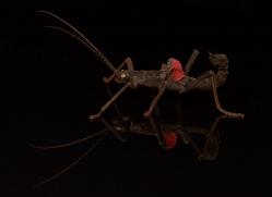 black-beauty-stick-insect-copyright-photographers-on-safari-com-8125