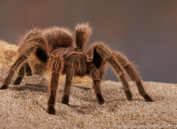 chilean-rose-tarantula-copyright-photographers-on-safari-com-8128