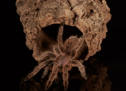 chilean-rose-tarantula-copyright-photographers-on-safari-com-8130