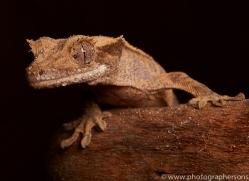 crested-gecko-copyright-photographers-on-safari-com-8576