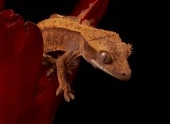 crested-gecko-copyright-photographers-on-safari-com-8579