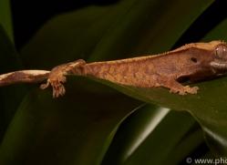 crested-gecko-copyright-photographers-on-safari-com-8580
