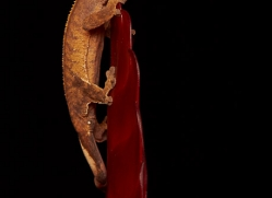 crested-gecko-copyright-photographers-on-safari-com-8581