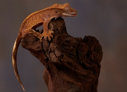 crested-gecko-copyright-photographers-on-safari-com-8583