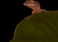 crested-gecko-copyright-photographers-on-safari-com-8586