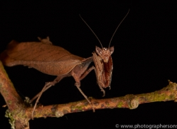 dead-leaf-mantis-copyright-photographers-on-safari-com-8588