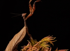 dead-leaf-mantis-copyright-photographers-on-safari-com-8590