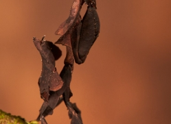 ghost-mantis-copyright-photographers-on-safari-com-8593