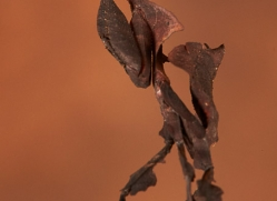 ghost-mantis-copyright-photographers-on-safari-com-8594